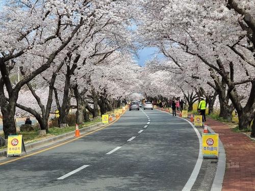 벚꽃 구경도 드라이브 스루…경주 차 흐름 비교적 원활