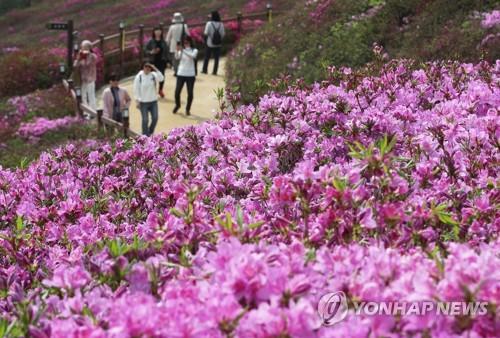 100만그루 꽃 잔치…군포철쭉축제 개막