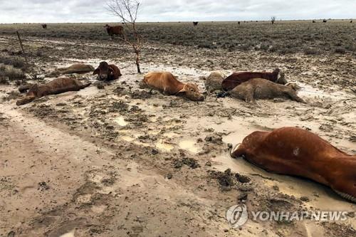 호주 북동부 홍수로 소 30만 마리 떼죽음