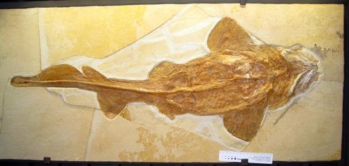 백상아리 1억6천500만년 전 조상 팔라이오카르카리아스 화석