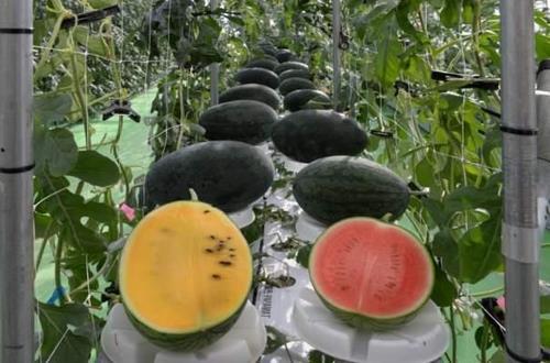 충북농기원 수박연구소가 개발한 수박 수경재배법