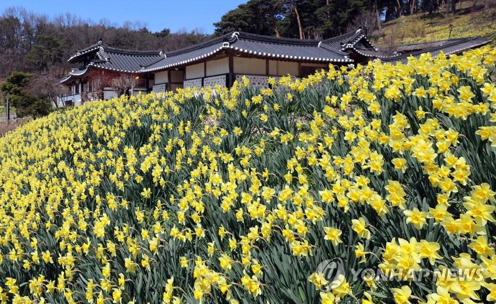 유기방 가옥 주변에 노란색 수선화가 꽃망울을 터뜨렸다.[사진/조성민 기자]