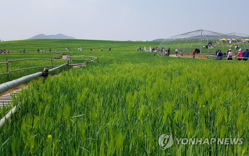 고창 청보리밭 축제 개막
