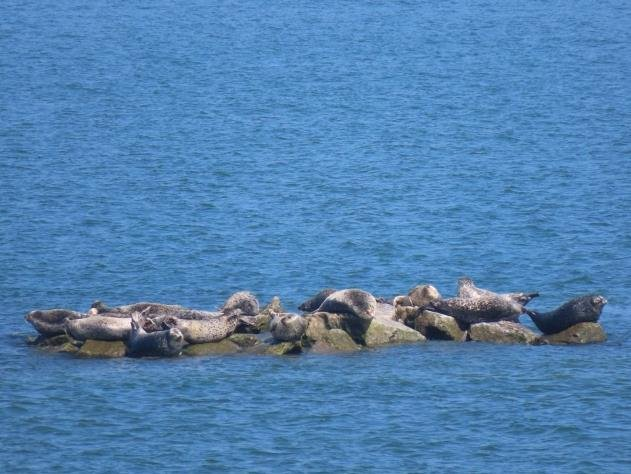 Spotted seals resting on artificial rock