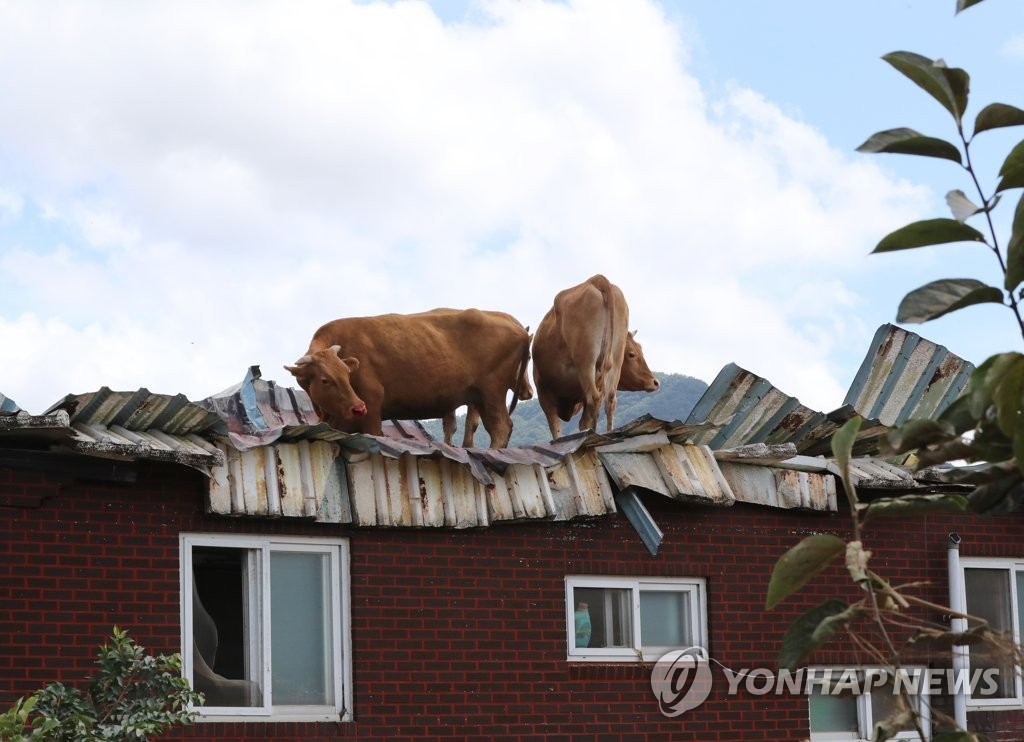 Cows stand on the roof of a cattle shed in the county of Gurye, South Jeolla Province, on Aug. 9, 2020, as the region suffered from flooding caused by recent heavy downpours. (Yonhap)