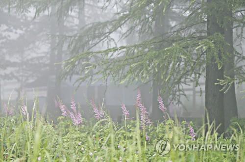 정선 만항재 하늘 숲과 노루오줌