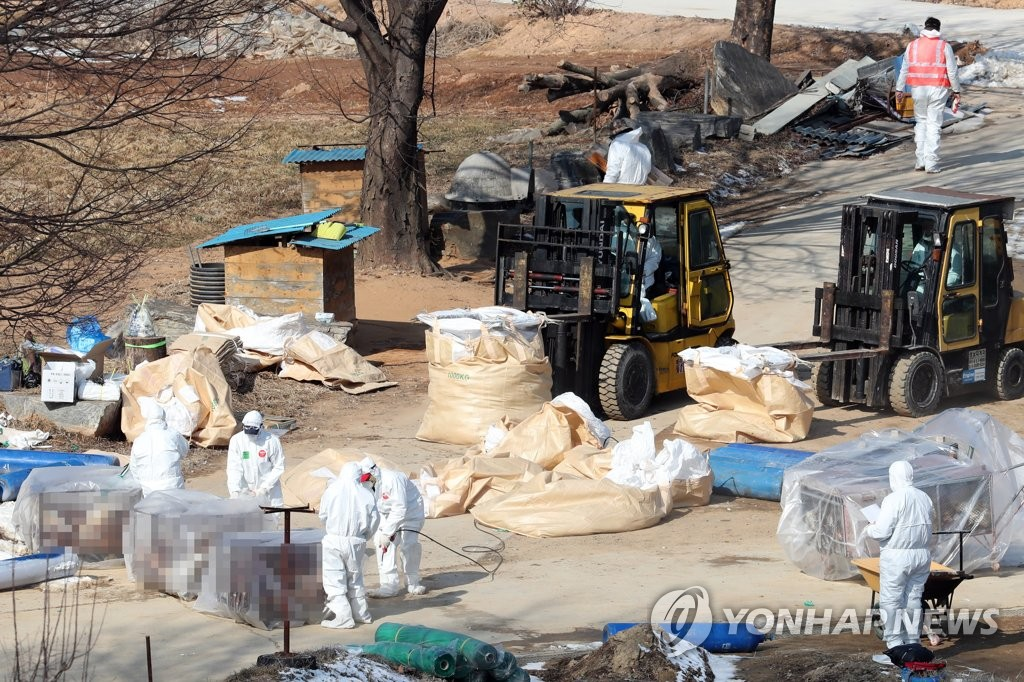 Officials cull chickens at a farm in Hwaseong, south of Seoul, on Feb. 19, 2021. (Yonhap)