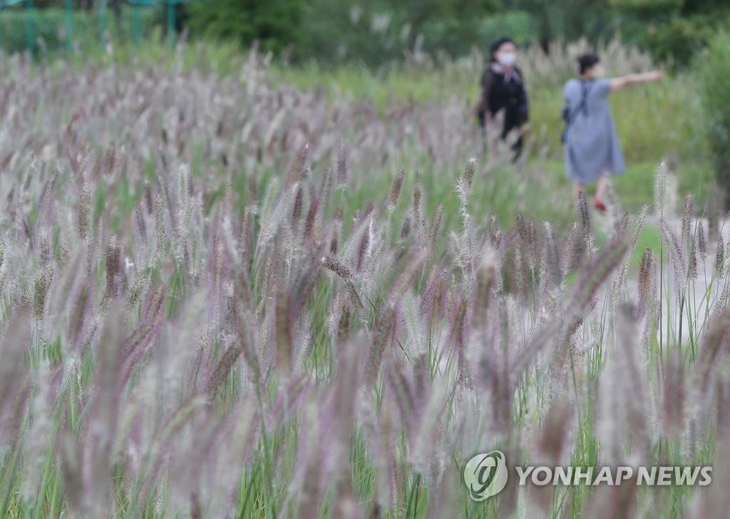 태화강 국가정원에 만개한 수크령